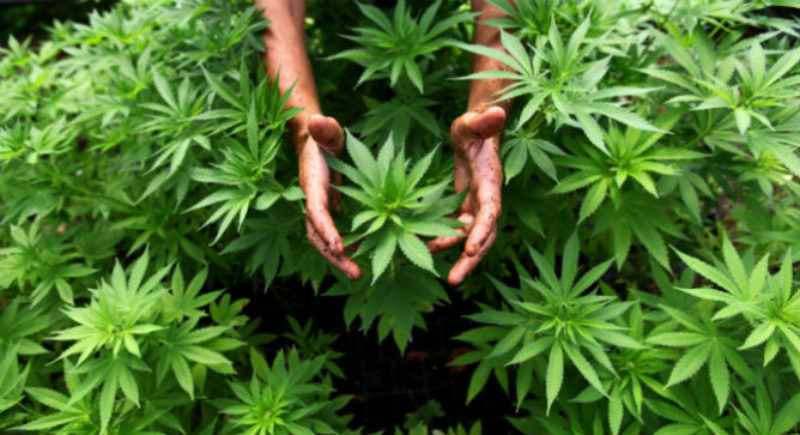 turn-a-new-leaf-by-finding-work-in-the-cannabis-industry-37710-w800